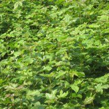 批发地径3公分枫香树#3公分枫香树价格