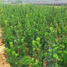 江苏北海道黄杨基地 1米-2米高北海道黄杨价格便宜 欢迎订购