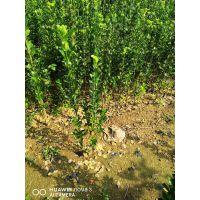 北海道黄杨哪家好 正一园艺场,哪里卖北海道黄杨