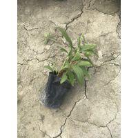 贵州大量出售千日红草花批发基地 千日红种植基地直销 千日红价格