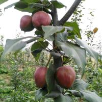 三年秋月梨树苗 三年梨树苗一亩种多少 一手货源早酥红梨树苗 一手货源全红梨树苗几年结果