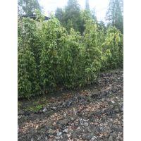 贵州哪里有油麻藤种植基地 油麻藤批发价是多少,出售爬山虎工程苗