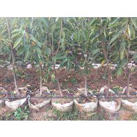 壹棵树砂蜜豆车厘子种苗产地销售