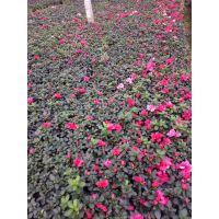 贵州西洋鹃批发基地 西洋鹃种植基地价格 杜鹃工程苗,比利时杜鹃基地