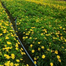 黔东南凯里木春菊批发基地 威宁木春菊工程苗在什么位置呢
