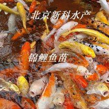 北京优质观赏鱼苗批发 锦鲤鱼苗 金鱼苗 红鲫鱼苗 夏花鱼苗