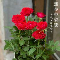 袖珍玫瑰花盆栽观花植物室内迷你月季小玫瑰盆景四季开花绿植花卉