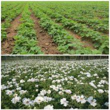 药用牡丹种植技术 牡丹苗价格 大量购买量大从优