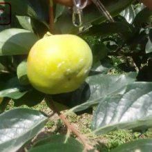 无核方柿柿子树苗、无核方柿柿子树苗新品种、阳丰柿子苗