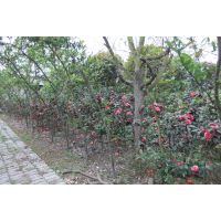 茶花基地直销 茶花条子 笼子以及树形都有 价格美丽