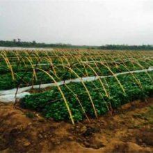 烟薯25红心红薯苗 烤红薯专用红薯苗 河北邢台天辰薯业
