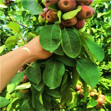 红富士苹果苗批发、今年山东苹果苗多少棵发货
