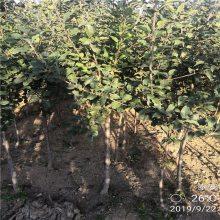 1公分红星苹果苗价格优惠 红星苹果苗批发价