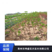 东营小龙柏穴盘苗_坤盛单位景观绿化工程苗木哪里卖