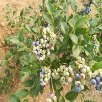 正一园艺场销售:蓝莓种苗多少钱 哪里可以买到蓝莓苗