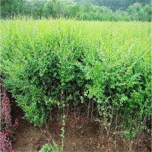 小叶女贞绿篱批发 四季常青不落叶 园林景观密植色块