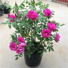 告诉您四季玫瑰哪里有卖 陕西/青海/宁夏/甘肃去哪里买四季玫瑰