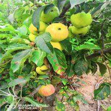 3公分苹果苗多少钱 嫁接红肉苹果苗品种纯正 1年苹果苗价格