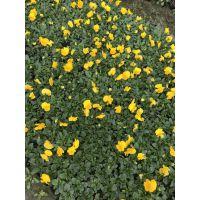 大量供应各种冬季花卉 三色堇大量出售 杯苗