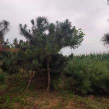 工程苗黑松绿化苗木黑松2米黑松基地
