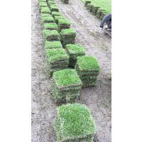 成都现起马尼拉草皮 供应各种草坪
