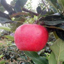 供应占地苹果树苗 两年结果苹果树 119-06红肉苹果苗