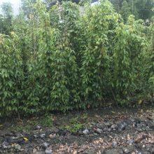 贵州油麻藤两证一签批发基地,大量出售常绿油麻藤3米价格