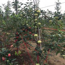 红星苹果树苗的价格