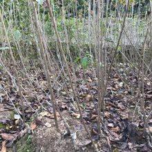 三年美早大樱桃树批发 5年生樱桃树价格 两公分分枝樱桃树多少钱
