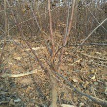 金矮生苹果苗种植维纳斯苹果苗烟台苹果苗品种
