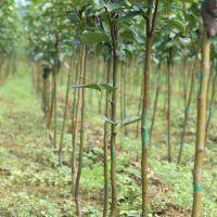 2公分早酥红梨树苗 早酥红梨树苗品种纯正 5公分早酥红梨树苗 5公分秋月梨树苗一亩种多少