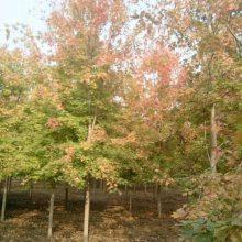 物美价廉美国红枫树苗 正宗秋火焰红枫树苗