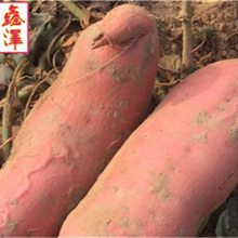沙地蜜薯哪家好-鑫泽源(在线咨询)-滨海新区沙地蜜薯