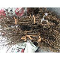 两年生软枣猕猴桃树苗龙成2号组培脱毒