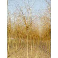 成都基地批发黄金柳园林苗木金丝垂柳常绿乔木垂柳小苗柳树枝条