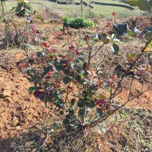 小花大花月季 红色系蔷薇 贵州黔南 高速公路绿化用的小苗批发价格 性价比