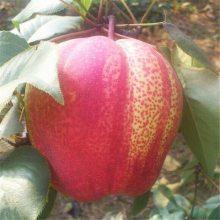 惠农 优质梨树新品种 量大从优2年生梨树苗价格
