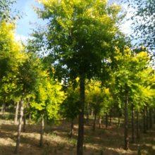 金枝槐是园林绿化苗木中用途颇广,是道路、风景区等园林绿化的珍品,不可多得的彩叶树种之一。四季景观。