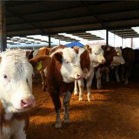 贵州西门塔尔牛300斤的牛犊价格