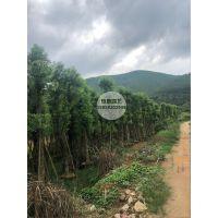 产地批发精品米径20公分全冠香樟价格3100