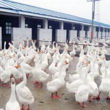 河北邢台鹅苗孵化厂如何养殖
