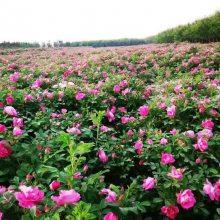 陕西牡丹花批发 周至牡丹 观赏牡丹 庭院绿化牡丹