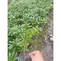 贵州木春菊批发基地 开黄色小花朵,多年生植物哦,杯苗出售
