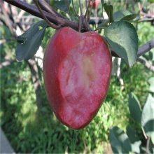 苹果树苗 红心苹果树苗 红肉苹果树苗价格