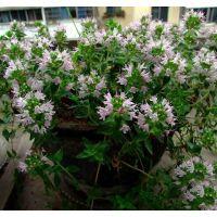 批发驱蚊草种子植物盆栽花卉盆景植物花卉植物花卉种子每袋200粒