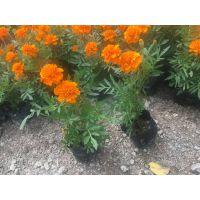 孔雀草和金盏菊的区别,四川花卉市场,高20公分金盏菊杯苗价格