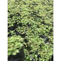 成都醡浆草基地大量出售绿叶红花 紫叶醡浆草,场地直销,醡浆草0.5元
