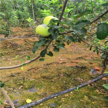 2公分3公分苹果苗 矮化苹果苗价格 1年苹果苗