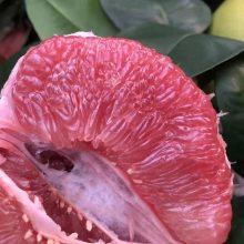 红心柚子树苗产地哪里有卖|三红柚子树苗价格|一二三年苗高度60以上