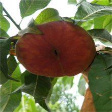 晚熟桃树苗价格多少 桃树种苗基地 桃树小苗 山东桃树苗质量好